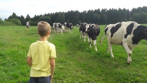 Herding the cows