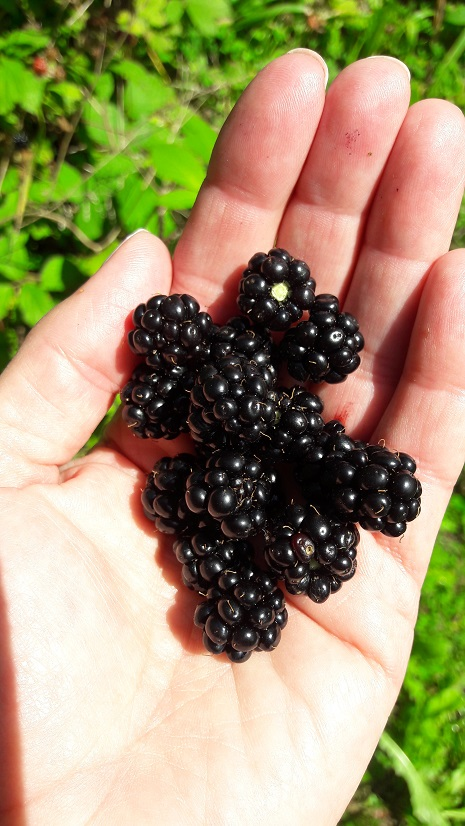 Fresh Blackberries